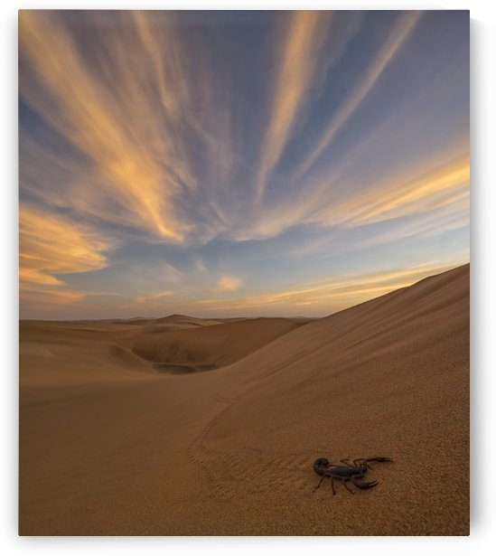 Scorpion walking through the desert; Swakopmund, Namibia by PacificStock