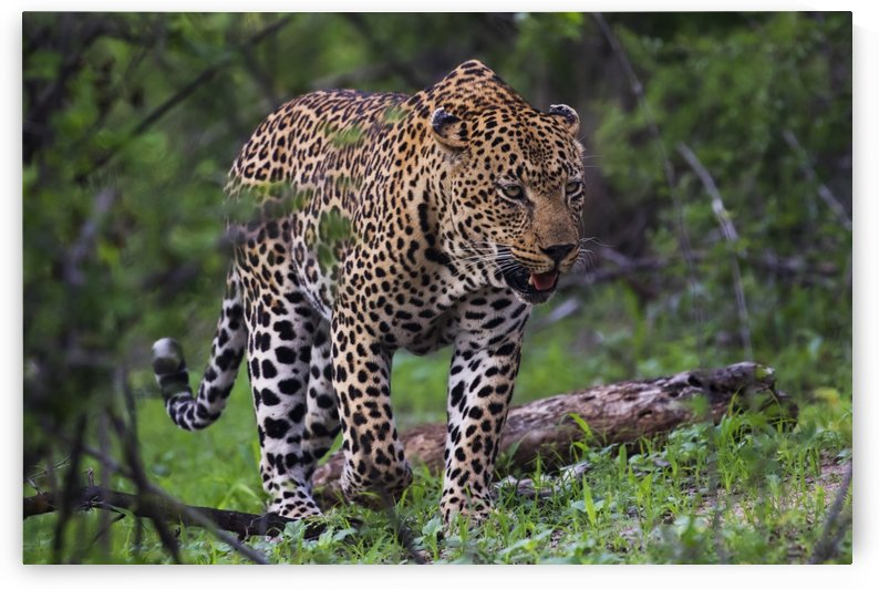 Male Leopard (panthera pardus) walking through the trees, Sabi Sand Game Reserve; South Africa by PacificStock