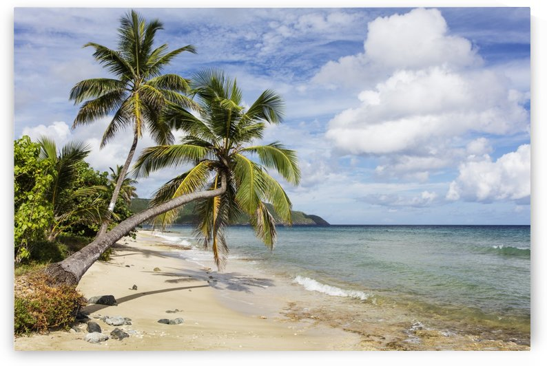A gorgeous palm tree stretches out over the beach; St. Croix, Virgin Islands, United States of America by PacificStock
