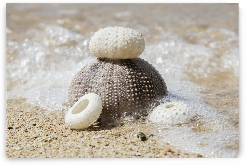 Urchin shells on a beach; St. Croix, Virgin Islands, United States of America by PacificStock