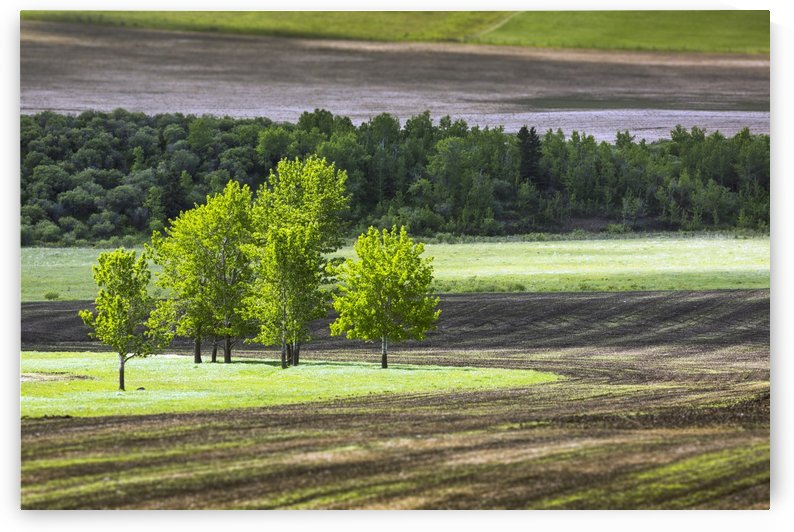A group of trees in a grassy field surrounded by soil and a row of trees in the background, West of High River; Alberta, Canada by PacificStock