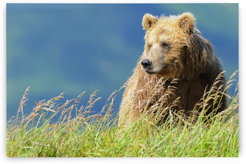 Portrait of a brown bear (portrait), Katmai National Park; Alaska, United States of America by PacificStock