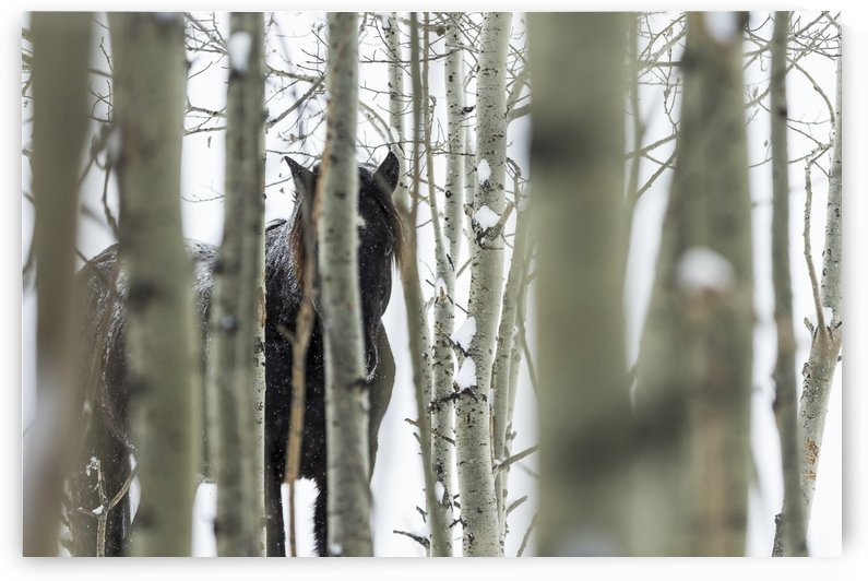 Wild horse hiding in trees; Turner Valley, Alberta, Canada by PacificStock