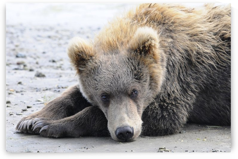 A brown bear (ursus arctos) lays on the sand, Katmai National Park; Alaska, United States of America by PacificStock