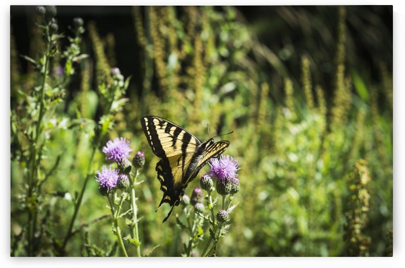 A Swallowtail Butterfly Visits Thistle Blossoms; Elsie, Oregon, United States Of America by PacificStock