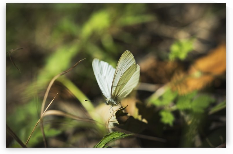 A White Butterfly Rests On A Leaf; Elsie, Oregon, United States Of America by PacificStock