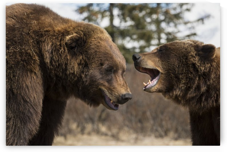 CAPTIVE: Male and female Brown bears play together, Alaska Wildlife Conservation Center, Southcentral Alaska  by PacificStock