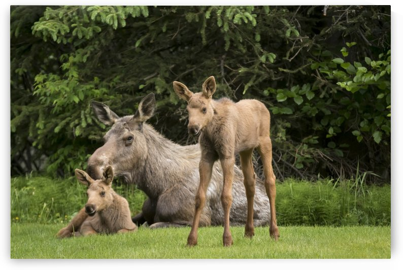 A cow moose (alces alces) relaxes on a lawn with her twin calves; Anchorage, Alaska, United States of America by PacificStock