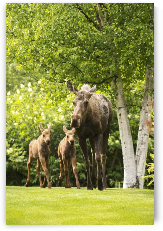 A cow moose (alces alces) with her calves on green grass with lush green foliage; Anchorage, Alaska, United States of America by PacificStock
