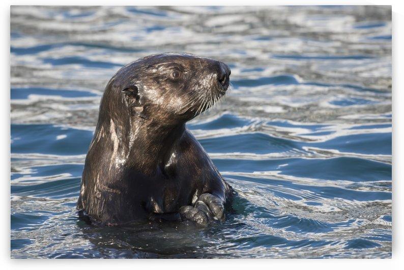 Sea Otter (Enhydra lutris) swims in Resurrection Bay near Seward small boat harbour in south-central Alaska; Seward, Alaska, United States of America by PacificStock
