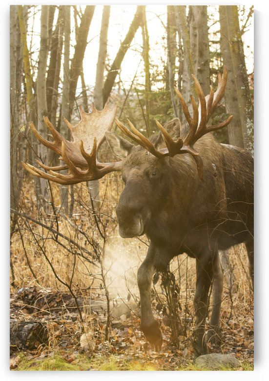Bull moose (alces alces) in rutting season in a frosty morning; Anchorage, Alaska, United States of America by PacificStock