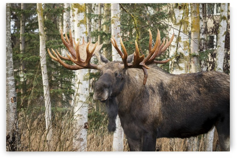 Bull moose (alces alces) in rutting season; Anchorage, Alaska, United States of America by PacificStock