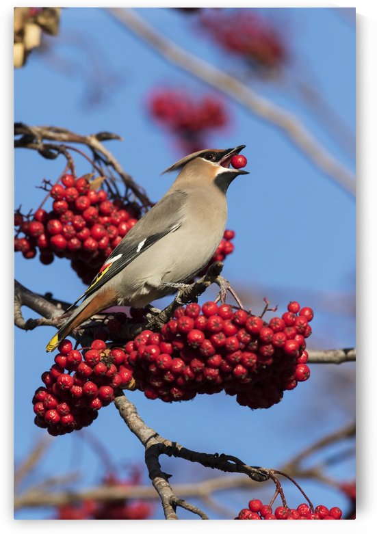 Bohemian Waxwing (Bombycilla garrulus) feeds on Mountain Ash tree berries in winter, south-central Alaska; Anchorage, Alaska, United States of America by PacificStock