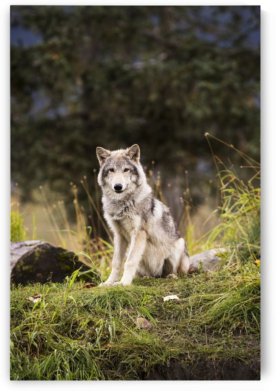 Grey wolf (Canis lupus) pup roams it's enclosure, captive at the Alaska Wildlife Conservation Center; Portage, Alaska, United States of America by PacificStock