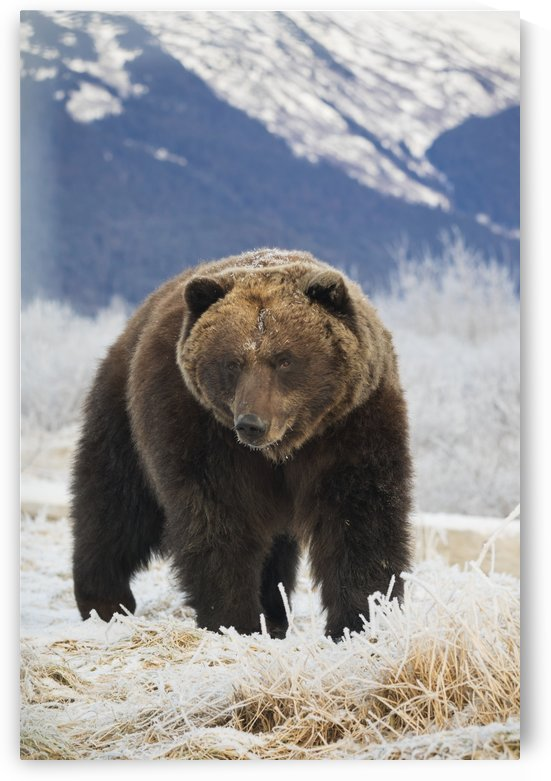 Brown bear (ursus arctos) in the frosty grass, captive at the Alaska Wildlife Conservation Center; Portage, Alaska, United States of America by PacificStock