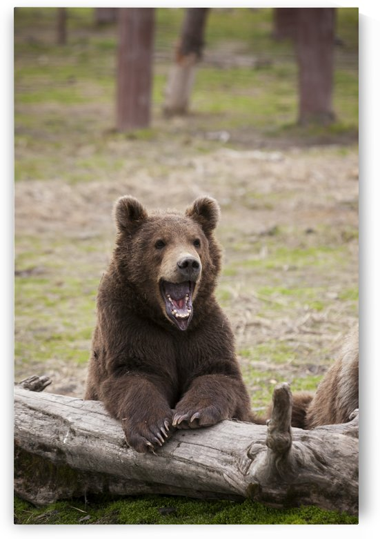 Young brown bear (ursus arctos) with mouth open as he leans against a log, captive at the Alaska Wildlife Conservation Center; Portage, Alaska, United States of America by PacificStock