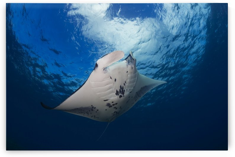 A reef manta ray (Manta alfredi), cruises over the shallows off West Maui; Hawaii, United States of America by PacificStock