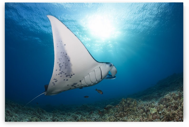 A reef manta ray (Manta alfredi), cruises over hard coral off West Maui; Hawaii, United States of America by PacificStock