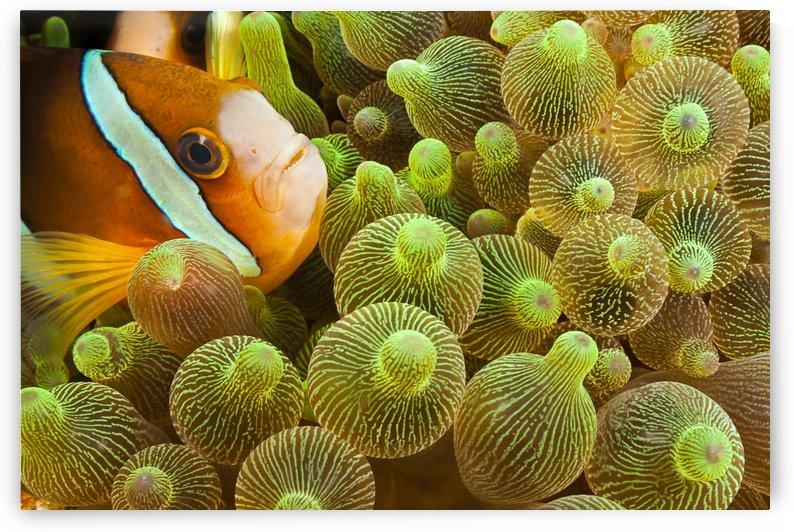 Clark's anemonefish (Amphiprion clarkii) in sea anemone (Entacmaea quadricolor); Komodo, Indonesia by PacificStock