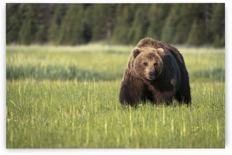 Brown bear (ursus arctos) in Lake Clark National Park; Alaska, United States of America by PacificStock