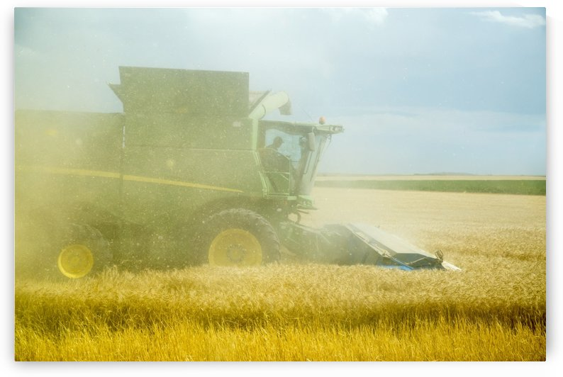 Chaff from the combine obscures view during wheat harvest; Paoli, Colorado, United States of America by PacificStock