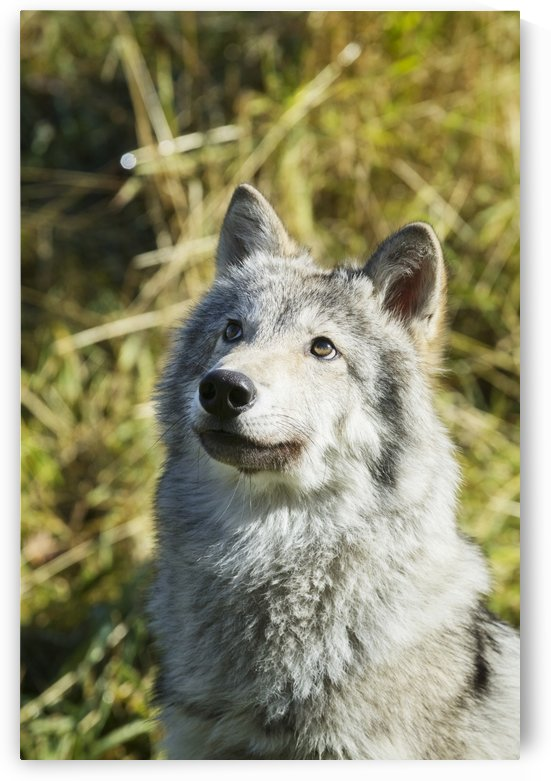 Portrait of a female Gray Wolf (canis lupus) looking up, captive, Alaska Wildlife Conservation Center; Portage, Alaska, United States of America by PacificStock
