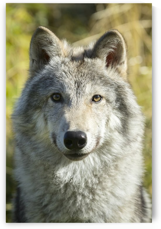 Portrait of a female Gray Wolf (canis lupus), captive, Alaska Wildlife Conservation Center; Portage, Alaska, United States of America by PacificStock