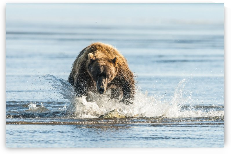 Brown bear (ursus arctos) chasing fish, Katmai National Park; Alaska, United States of America by PacificStock