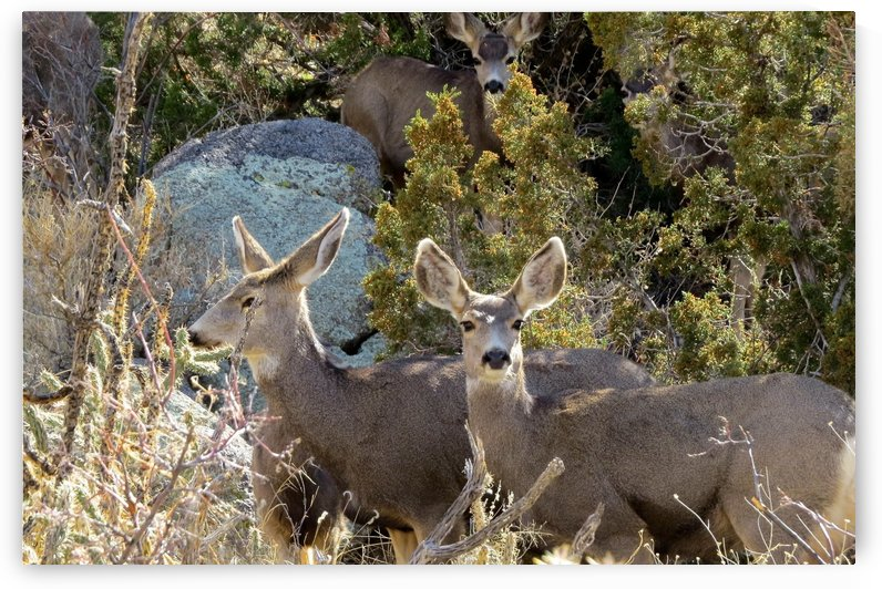 Mule Deer 6VP by Vicki Polin
