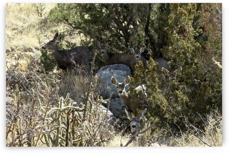 Mule Deer 4VP by Vicki Polin