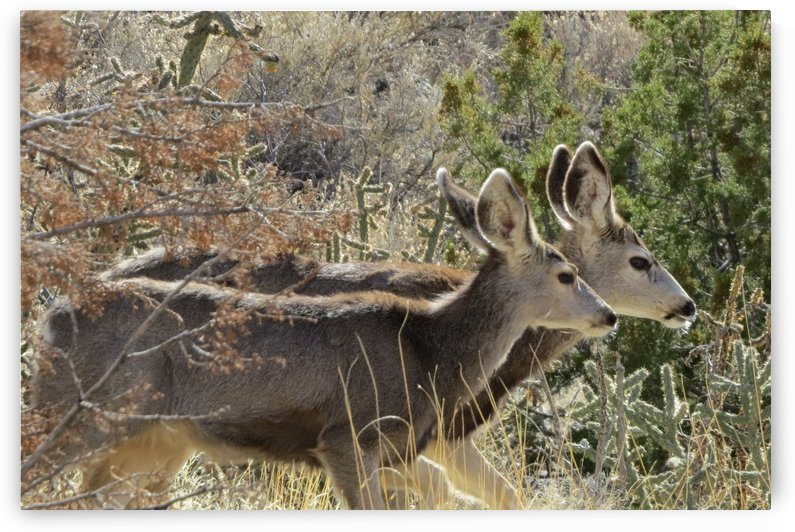 Mule Deer 2VP by Vicki Polin