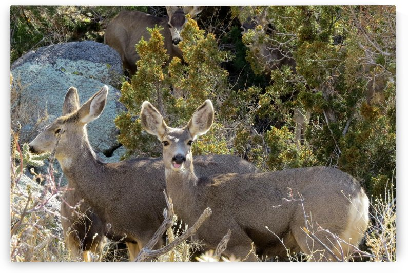 Mule Deer 1VP by Vicki Polin