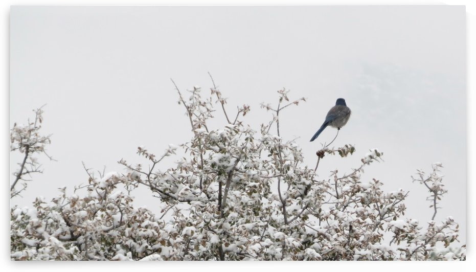 Bluebird in Snow 3VP by Vicki Polin