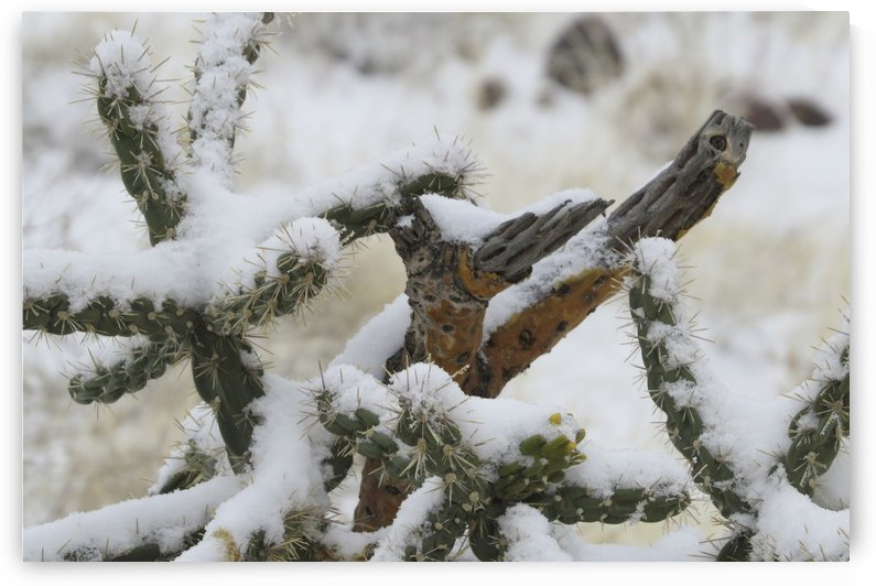 Cactus in Snow 1VP by Vicki Polin