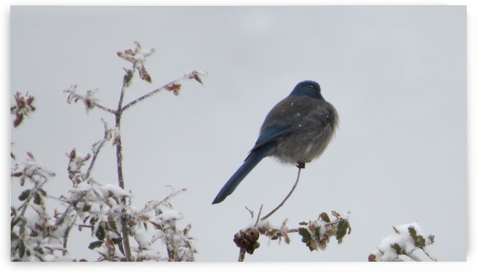 Bluebird in the Snow 1VP by Vicki Polin