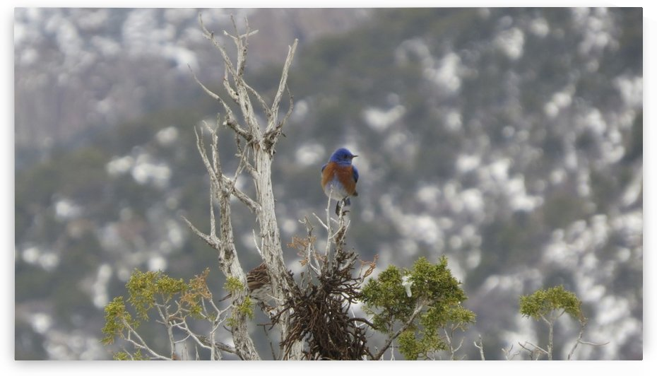 Western Bluebird in the Sandia Mountains VP1 by Vicki Polin