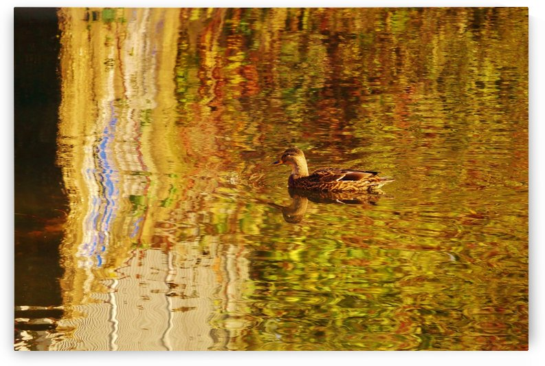 Duck by Andy Jamieson