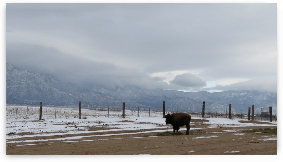 Buffalo on the Sandia Pueblo 1VP by Vicki Polin