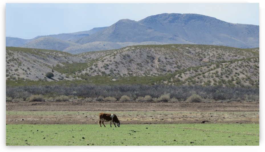 Cattle along the Camino Real 1VP by Vicki Polin
