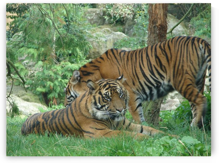 Tigers by Taara Petts