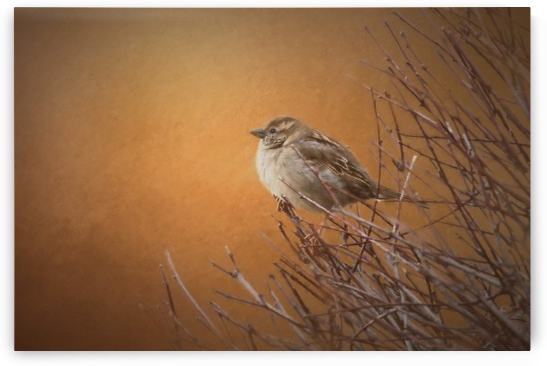 Evening Sparrow Song by Sharon McConnell