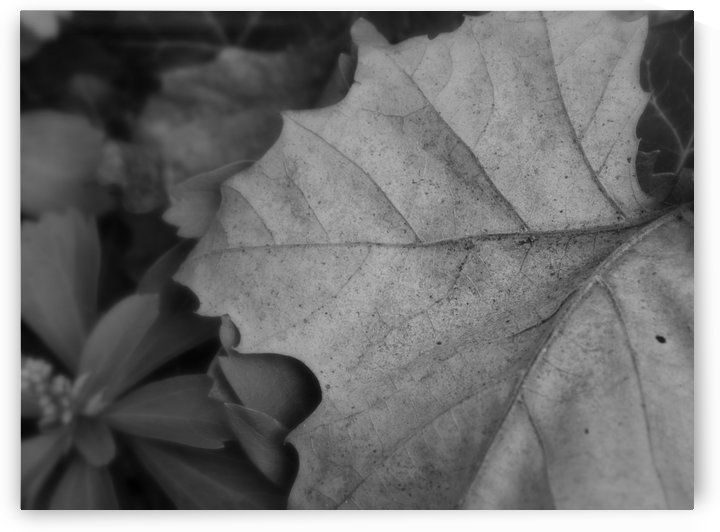 Leaves - Black & White by Ohio In Print