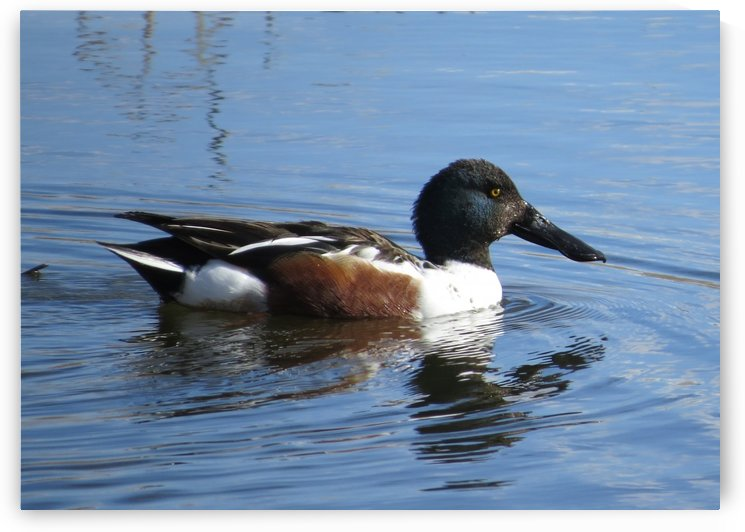 Northern Shoveler VP3 by Vicki Polin