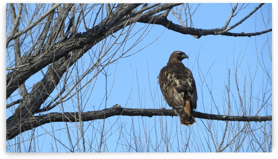 Golden Eagle VP4 by Vicki Polin
