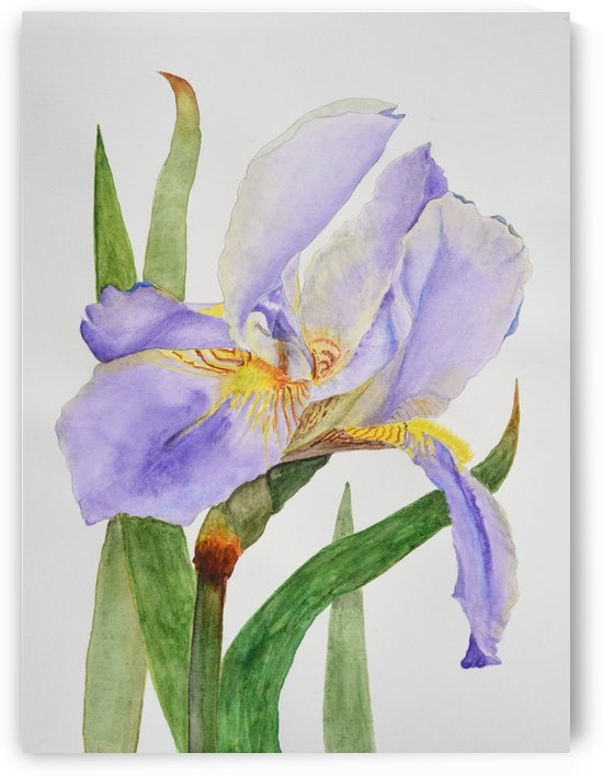 Purple Iris by Linda Brody