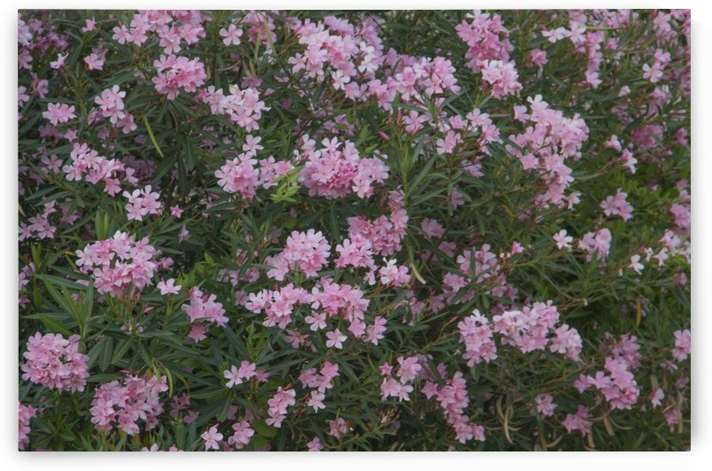 Green Shrub With Soft Pink Flowers  by Michael DeSiano