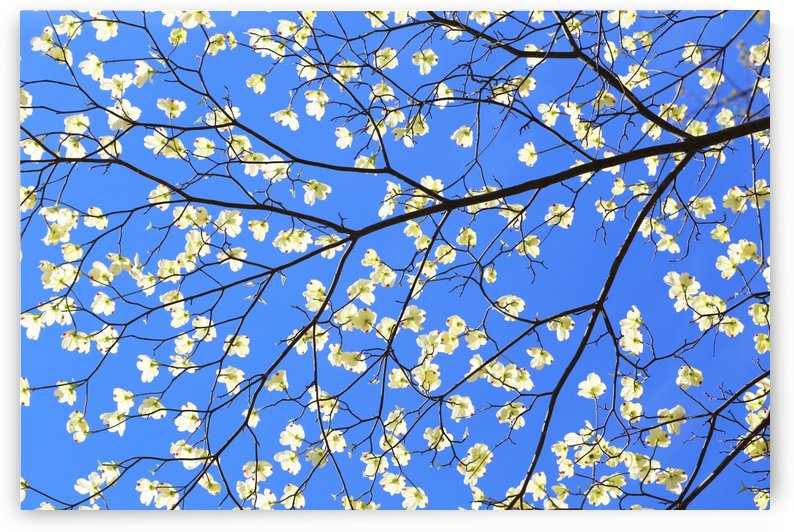 Blue Sky and Dogwood by John Foster