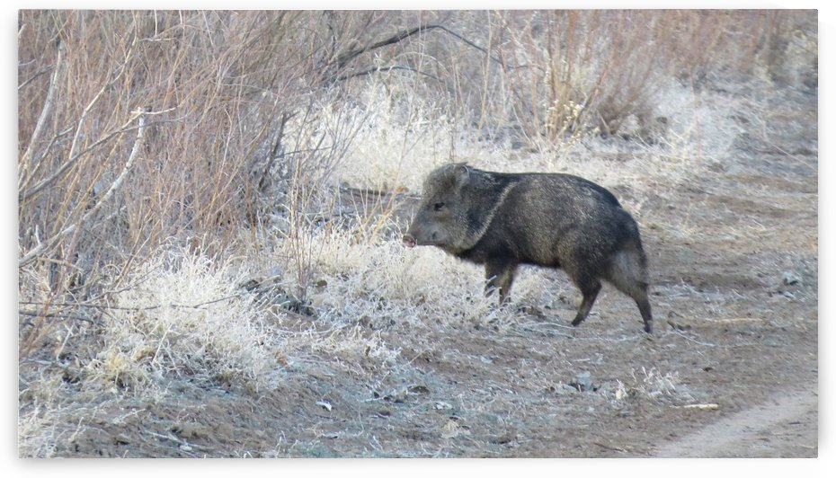 Javelina VP1 by Vicki Polin