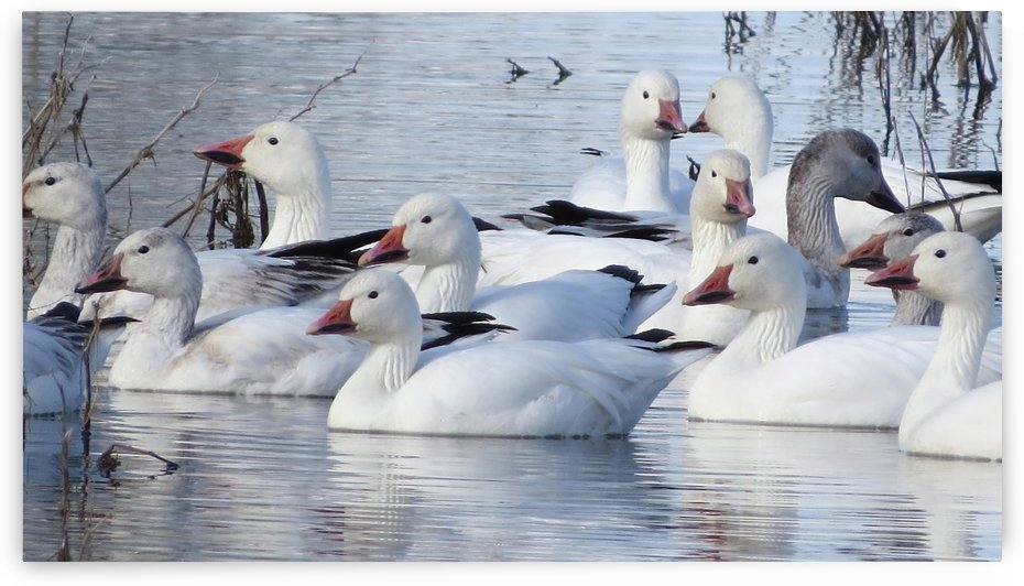 Lesser Snow Geese VP1 by Vicki Polin
