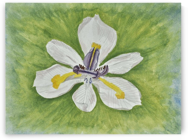 White Iris by Linda Brody